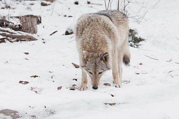 Gevaarlijke beestachtige jacht prooi snuift. Grijze wolf vrouwtje in de sneeuw, mooi sterk dier in d van Michael Semenov