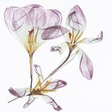 Fragilita van