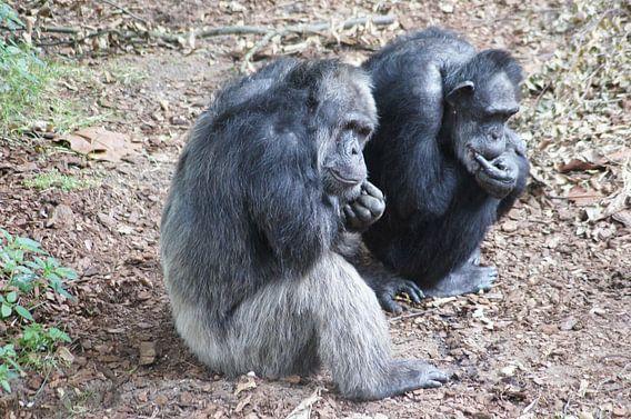 Oude en wijze chimpansee