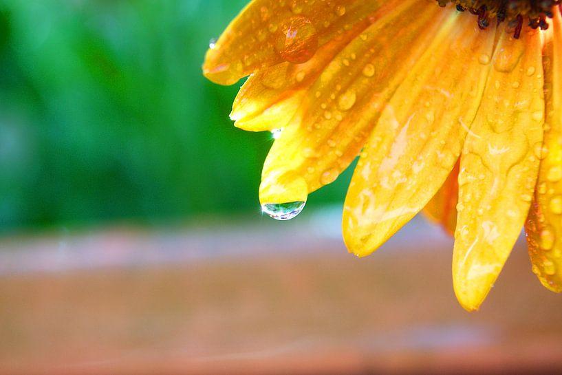 een Spaanse margriet na een voorjaars bui van tiny brok