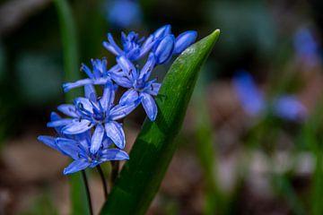 Eine blaue Blume im Wald von David Esser