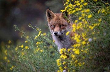 Fox von Maurice van de Waarsenburg