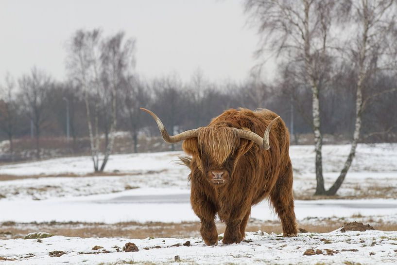 Schotse Hooglander van Michiel Leegerstee
