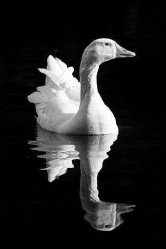 Zwart-wit portret van een gans in het water