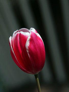 Red beauty van Maartje Kuperus