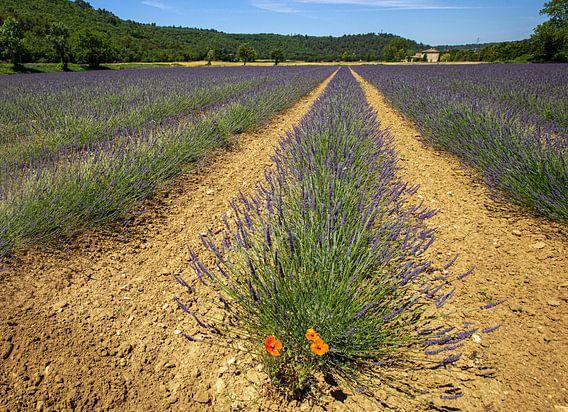 Verdwaalde klaproos tussen de lavendel