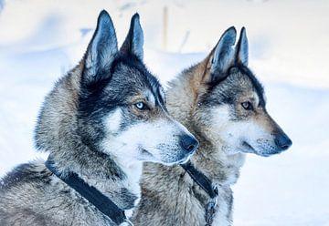 Zwei Schlittenhunde warten auf den Start, Finnland von Rietje Bulthuis