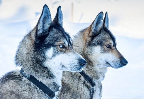 Twee huskyhonden wachtend voor de start, Finland