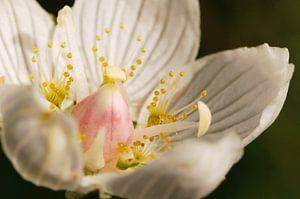 Parnassia (Parnassia palustris L.) van