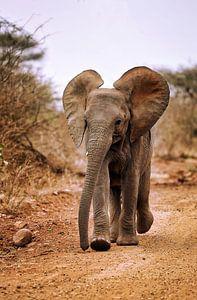 Jeune éléphant, Afrique du Sud sur W. Woyke