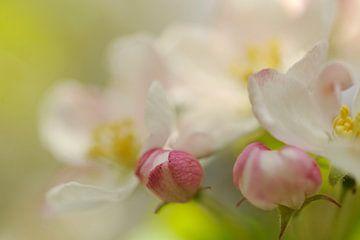 Witte bloesem van een appelboom von Gonnie van de Schans