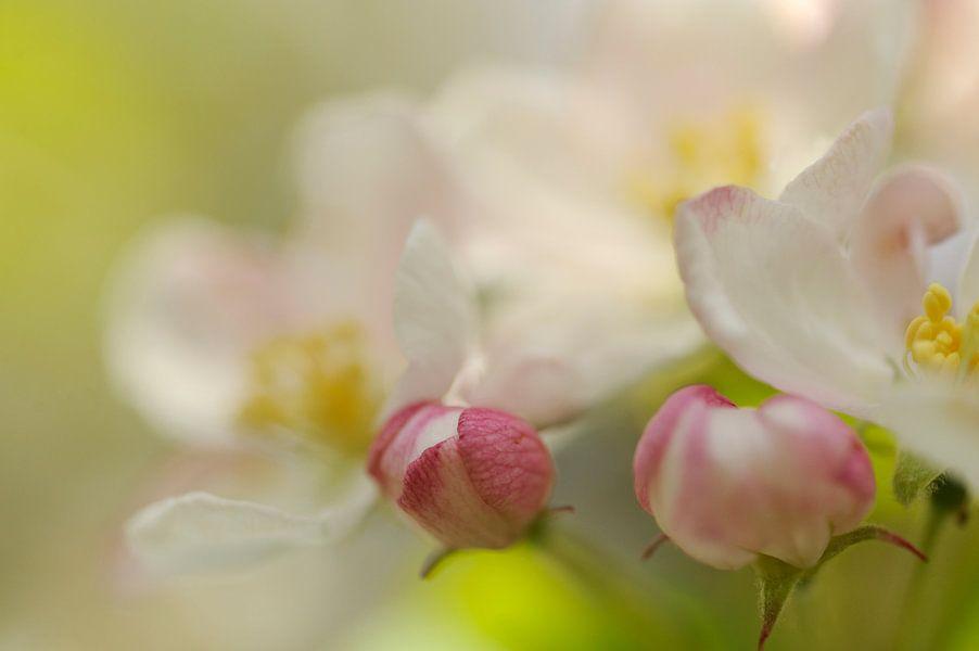 Witte bloesem van een appelboom van Gonnie van de Schans
