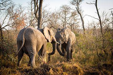 Vechtende olifanten van
