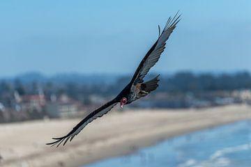 Gier boven Californische kust van Rob IJsselstein