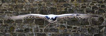 Slechtvalk met open gespreide vleugels von Benny Van Bockel