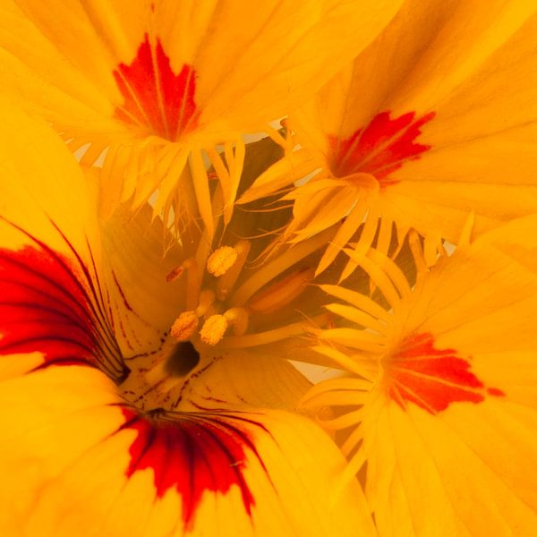 Detail van gele Oostindische kers van arjan doornbos