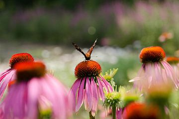 De vlinder van Hilbrand P