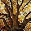 Chêne en automne sur Ines van Megen-Thijssen Aperçu