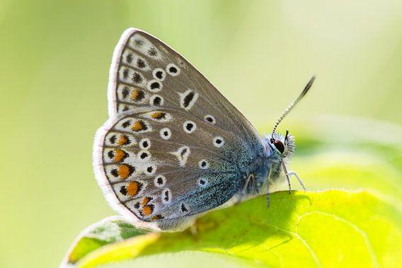 Icarusblauwtje vlinder op groen blad