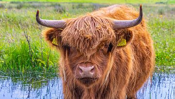Schotse hooglander in Kop van Noord-Holland van Jessica Lokker