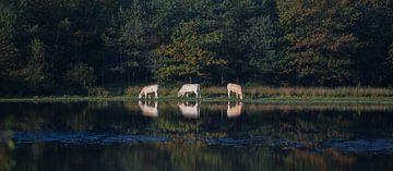drie koeien (panorama) von Bart Hardorff