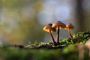 Les champignons un jour d'automne ensoleillé sur Vincent Keizer
