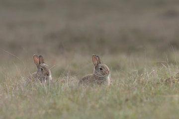 Junge Hasen wagen sich aus ihrem Bau in die Heide von Eric Wander