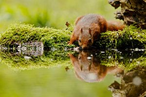 eekhoorn drinken van