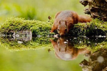 eekhoorn drinken von Rando Kromkamp