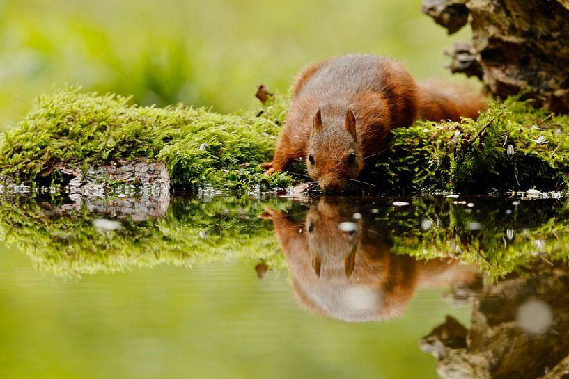 eekhoorn drinken van Rando Kromkamp