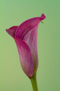 Bloem van een paarse calla tegen een groene achtergrond van Joachim Küster