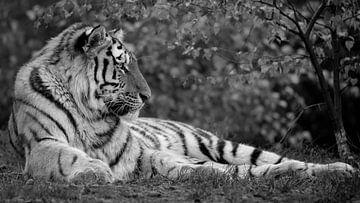 Sibirischer Tiger im Herbst im Format 16x9 (schwarz-weiß) von Patrick van Bakkum