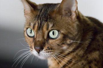Porträt einer bengalischen Katze von Anne Dellaert