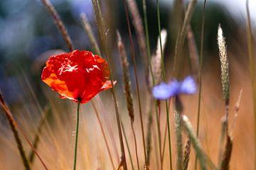 poppy in the cornfield sur Kurt Krause