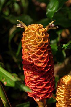Rote Pinienzapfen Ingwer, schöne Blume aus dem schönen Costa Rica von Mirjam Welleweerd