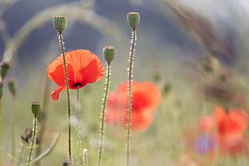 Poppys field van