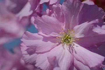 Roze Kersenbloesem van Ulrike Leone