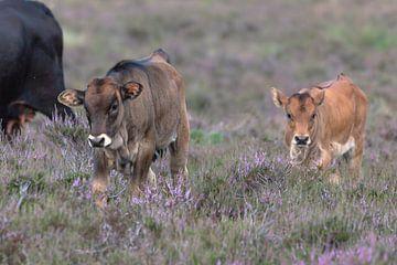 Spaanse koe kalfjes (Sayaguesa runderen)
