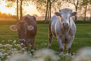 Vache et taureau dans le Brugse Ommeland (Damme, Belgique) au coucher du soleil sur Nele Mispelon