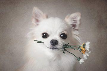 Chihuahua mit Blumen, Lienjp  von 1x