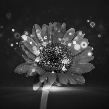 Eine schwarz / weiße Gerbera von Wendy Tellier - Vastenhouw