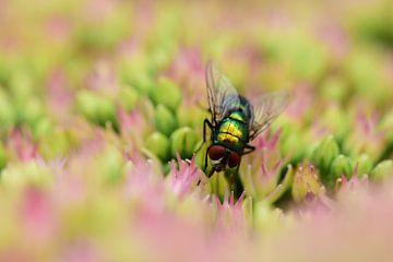 Verträumte Fliege von Gerard de Zwaan