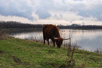 Schotse Hooglander graast langs het meer van Heleen de Silva