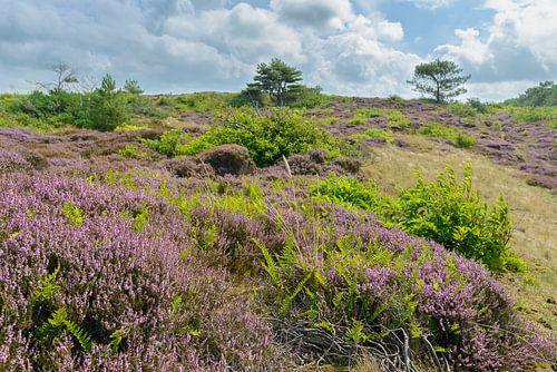 Blühende Heidekrautanlagen in den Dünen