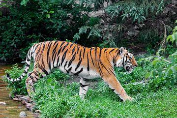 Een mooie felrode tijger loopt door struikgewas van felgroen gras (oerwoud), een krachtig groot Azia van Michael Semenov