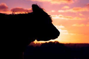 Zonsondergang met silhouet van Schotse Hooglander koe