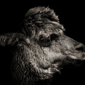 Alpaga en couleur sur fond noir sur Steven Dijkshoorn