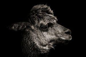 Alpaka in Farbe mit schwarzem Hintergrund