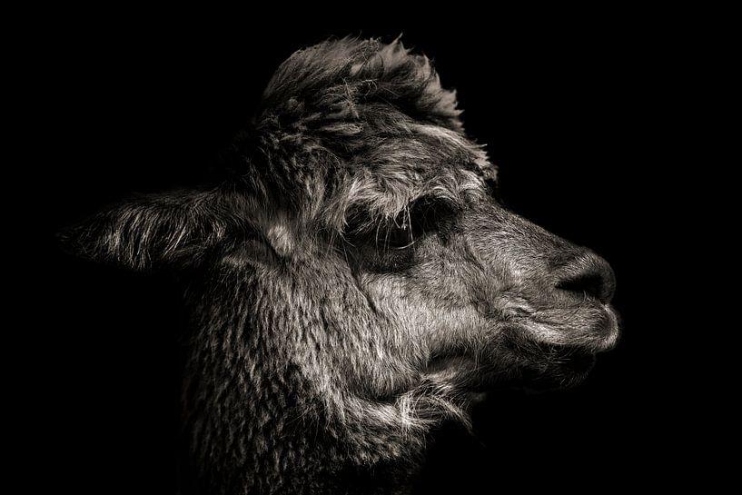 Alpaka in Farbe mit schwarzem Hintergrund von Steven Dijkshoorn