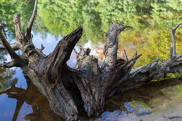 Wurzel und Spiegelung im See